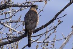 Bottai Hawk Perched Against il cielo blu di Colorado immagine stock