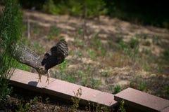 Bottai Hawk Taking Flight Immagini Stock