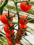 Botte britannique fraîche de tomatoe photos stock