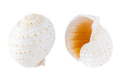Botte del mosaico (tonna tessellata) Shell Fotografie Stock