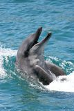 Bottenose Dolphin. Smiling bottlenose dolphin with it's head out of the water Royalty Free Stock Photos