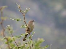 Botteri's Sparrow. Perched at Ash Canyon, Arizona Stock Photo