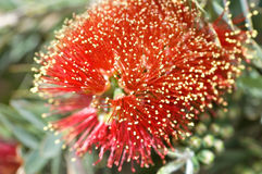 Bottle Brush Stock Photos