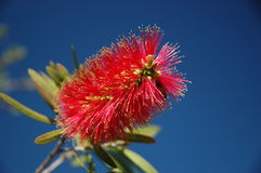 Free Bottle Brush Royalty Free Stock Photo - 278165