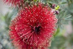 Bottle Brush. This Bottle brush Tree has these beautifull flowers this year Stock Image