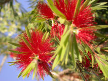 Bottle Brush Royalty Free Stock Photos