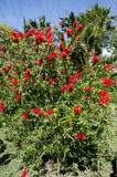 Bottle Brush Bush. With bright red flowers Stock Photo