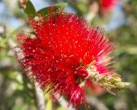 Bottle brush, callistemon, flower, botanic. Image of a bottle brush, flower specimen of callistemon, a genus of shrubs in the family Myrtaceae and order myrtales Stock Image