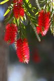 Bottle Brush Flower Stock Photos