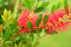Bottle Brush Flower. Bottle Brush after a rain Stock Images