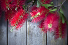 Bottle Brush Flower Wood Background Royalty Free Stock Photos