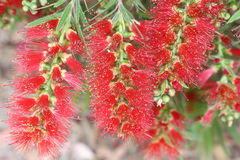 Bottle Brush Flowers Royalty Free Stock Photo