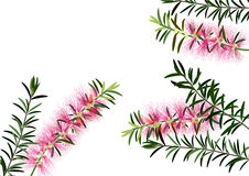 Bottle brush flowers or callistemon  ,pink flower on white background,vector Stock Photo