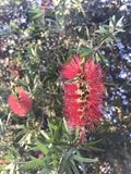Bottle brush flowers Royalty Free Stock Image