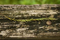 Bottle brush leave. On wooden railing of a boardwalk royalty free stock photos