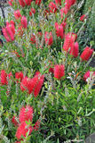 Bottle brush plant Stock Photos