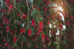 Bottle brush tree/Beauty exotic red flower of bottle brush tree. Callistemon stock image
