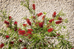 Bottle Brush Tree Stock Images