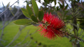 Bottle brush tree flower in red Royalty Free Stock Image