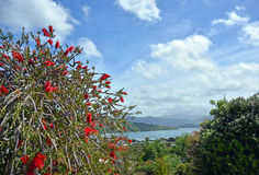Bottle Brush Tree in Full Bloom Beside the Sea. Royalty Free Stock Photography