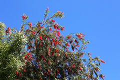 Bottle Brush Tree with Red Flowers. A beautiful bottle brush tree with several spring red flowers,  Perfect for gardening and landscaping Royalty Free Stock Image