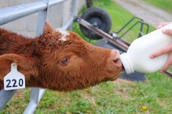 Bottle Calf Taking Milk. Cow Calf Sucking Milk from Hand Held Bottle Royalty Free Stock Photos
