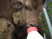 Bottle Fed Calf Royalty Free Stock Image