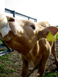 Bottle fed calf. Feeding a milk bottle to a baby calf Royalty Free Stock Images