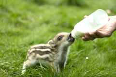 Bottle fed on wild Boar royalty free stock photography