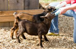 Bottle Feed Goats Stock Photos