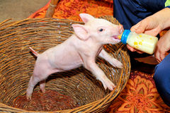 Bottle feed piglet royalty free stock photography