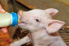 Bottle feed piglet stock images