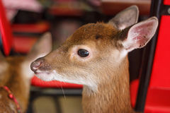 Bottle feeding baby deer Stock Photo