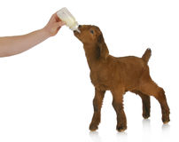 Bottle feeding baby goat Stock Image