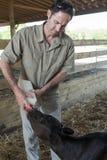 Bottle Feeding Calf Royalty Free Stock Images