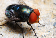 Bottle Fly. A macro photo taken on a blow fly or blue bottle fly Stock Photos