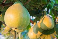 Bottle gourd Stock Photography