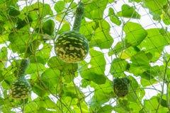 Bottle gourd Stock Image