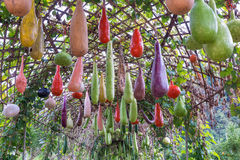 Bottle gourd, Calabash gourd, fruit and trees Royalty Free Stock Image