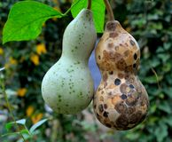 Bottle gourd Royalty Free Stock Photography