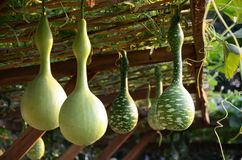 Bottle gourd Stock Photo