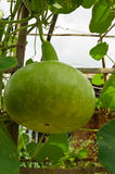 Bottle gourd in the garden Royalty Free Stock Image
