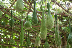 Bottle gourd in garden Royalty Free Stock Photography