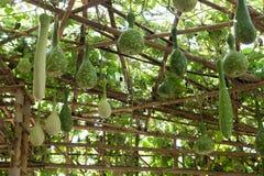 Bottle gourd in garden Stock Photography