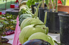 Bottle gourd on sale Royalty Free Stock Photos