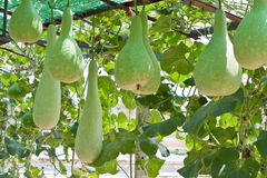 Bottle gourd and winter melon. In greenhouse cultivation Royalty Free Stock Image