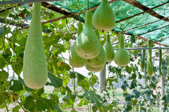 Bottle gourd and winter melon. In greenhouse cultivation Royalty Free Stock Photos