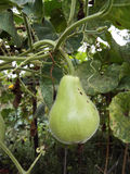 Bottle Gourds Stock Photography