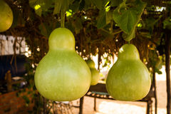 Bottle Gourds (Lagenaria siceraria) On Vine Stock Photo