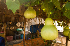 Bottle Gourds (Lagenaria siceraria) On Vine Stock Photos
